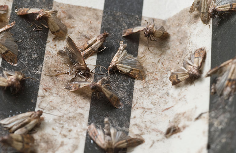 Use ammonia to repel moths