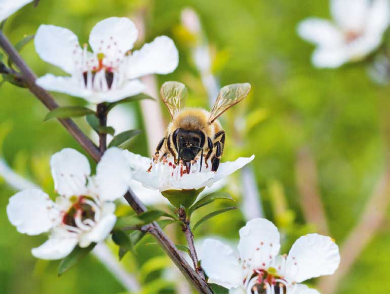 Healing benefits of manuka honey