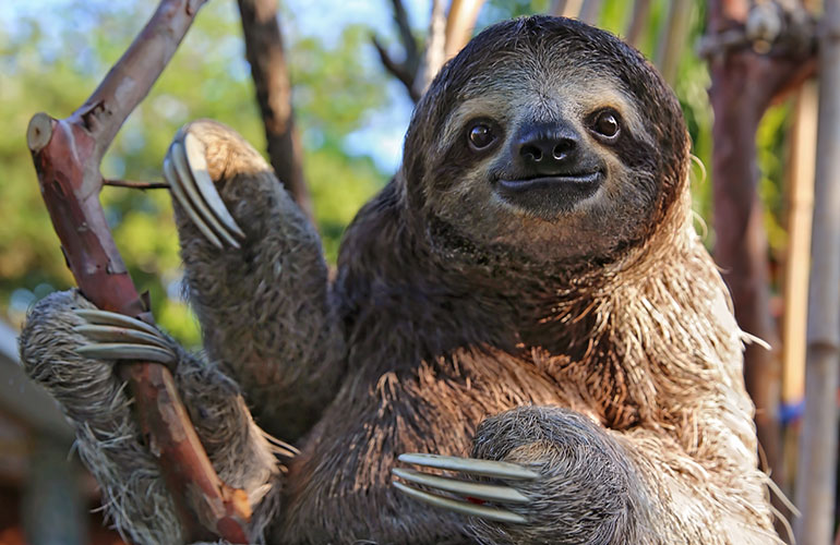 Sloths can hold their breath longer than dolphins can